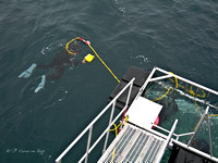 Photo of a diver taking photos of other divers inside of shark cage while on a Great White Shark dive. .