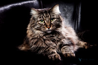 Photo portrait of a handsome long hair male cat.